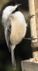 black-capped-chickadee-1520300_2