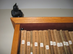 Raven on bookshelves